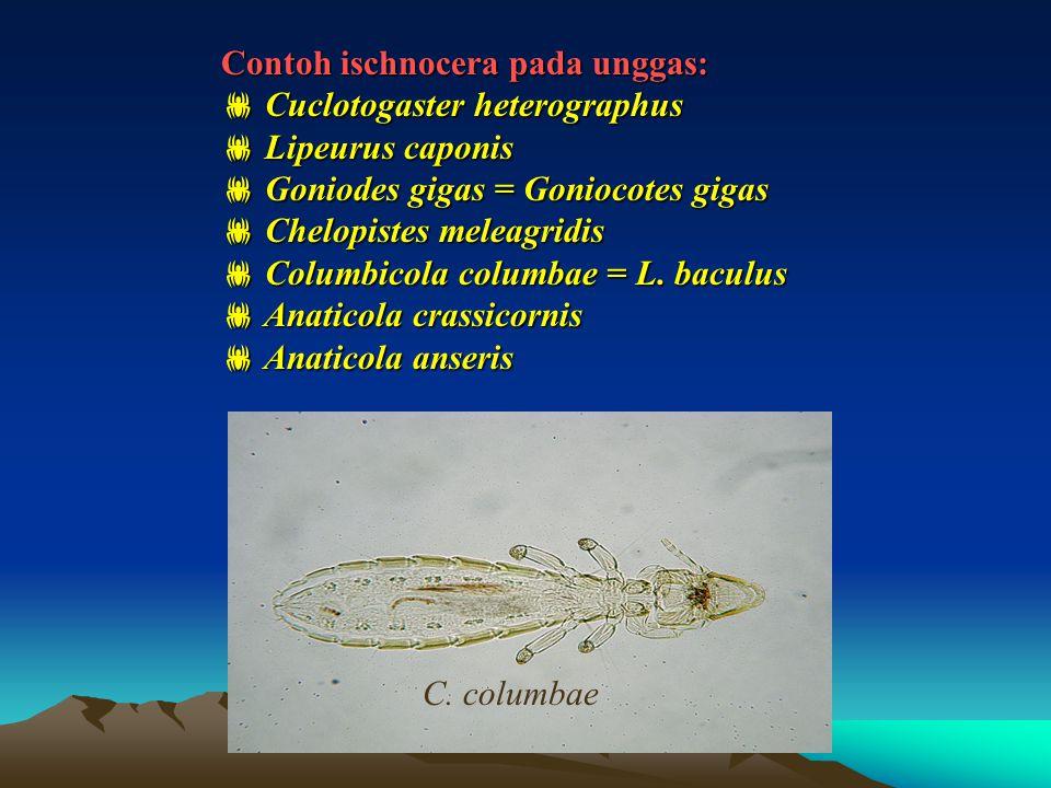Contoh ischnocera pada unggas:  Cuclotogaster heterographus  Lipeurus caponis  Goniodes gigas = Goniocotes gigas  Chelopistes meleagridis  Columb