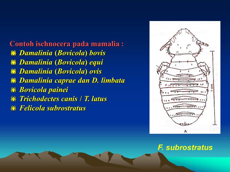 Super Famili : Amblycera Parasit pd mamalia dan unggas Kepala luas dan bundar pada anterior Antena (4 segmen) dalam celah, jantan & betina berbeda Mempunyai palpus maxilaris, mirip antena Mandibula menggigit secara horisontal Hanya 9 segmen abdomen yang tampak