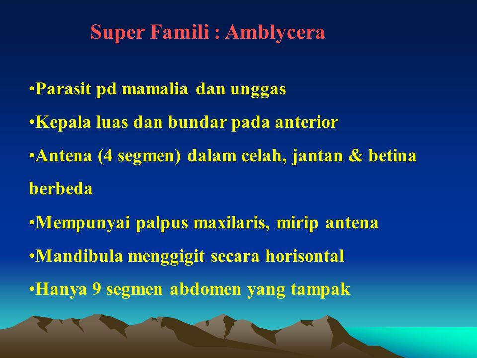 Super Famili : Amblycera Parasit pd mamalia dan unggas Kepala luas dan bundar pada anterior Antena (4 segmen) dalam celah, jantan & betina berbeda Mem