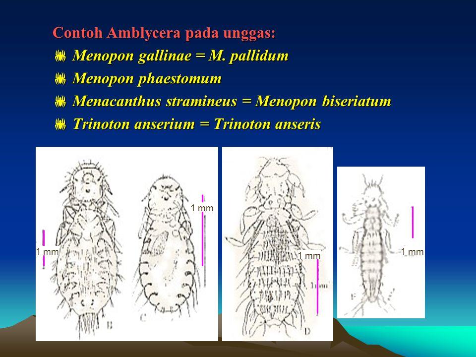 Contoh Amblycera pada unggas:  Menopon gallinae = M. pallidum  Menopon phaestomum  Menacanthus stramineus = Menopon biseriatum  Trinoton anserium