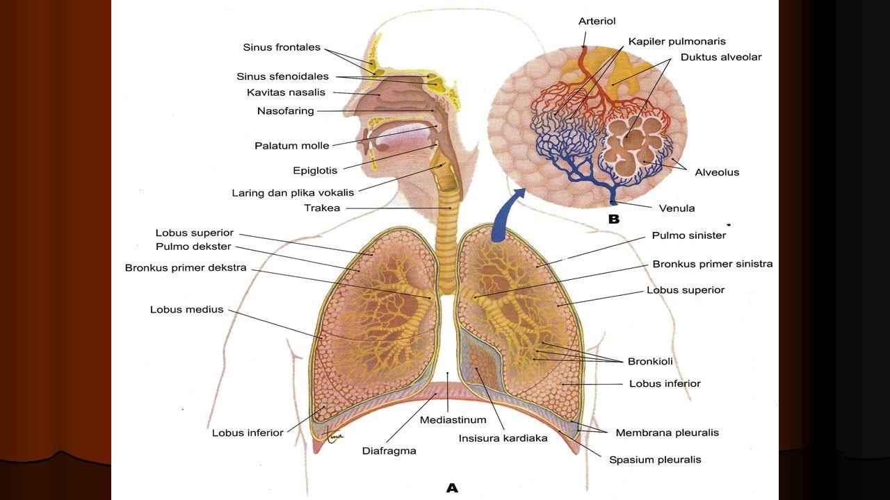 VI.PARU-PARU Paru-paru dibungkus oleh selaput yang bernama pleura.