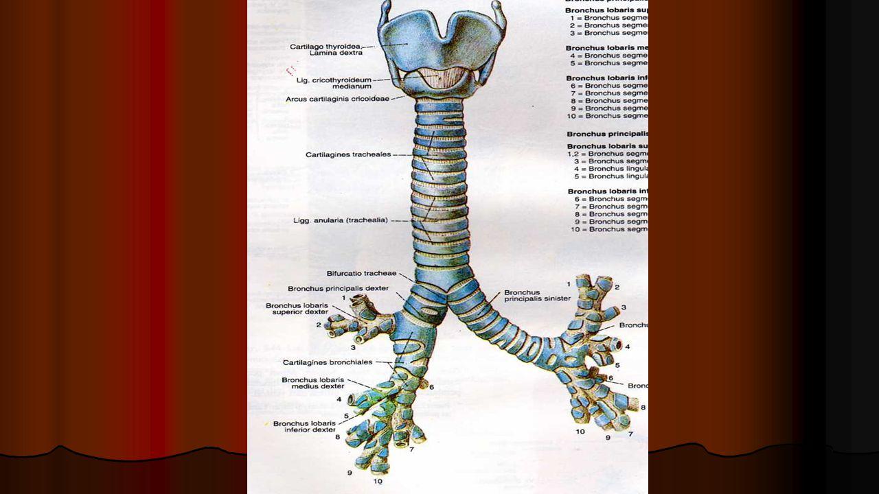 Trakea dilapisi oleh epitel bertingkat dengan silia dan sel goblet.