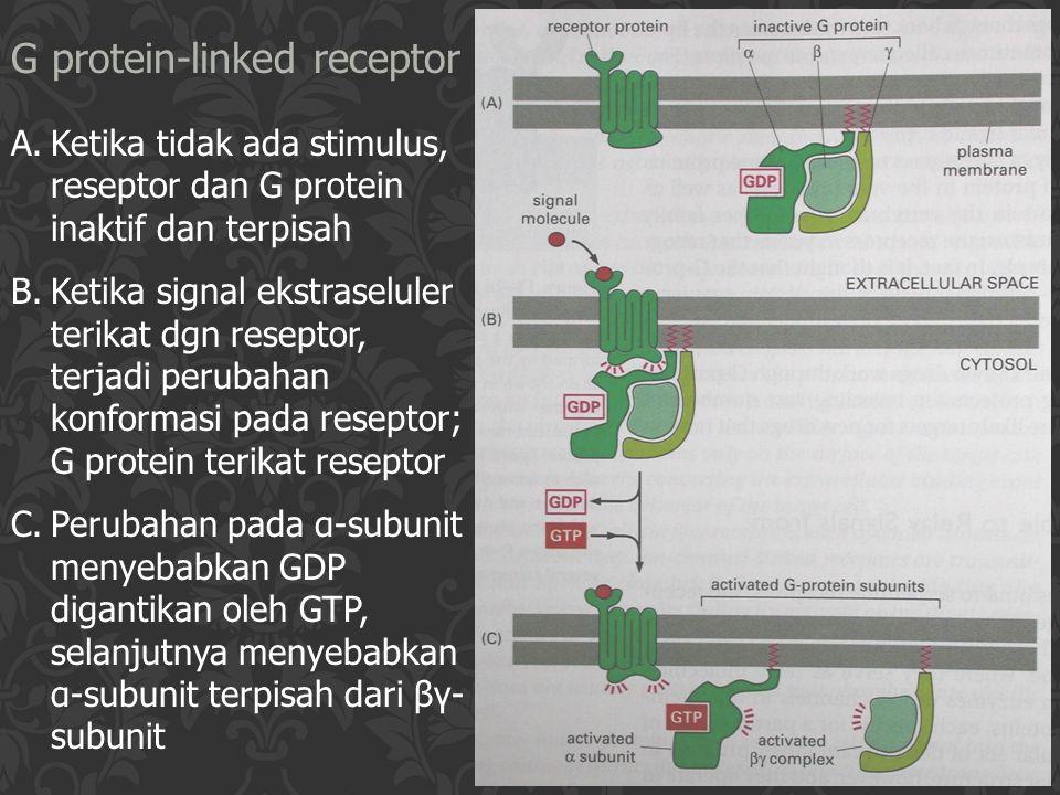 G protein-linked receptor A.Ketika tidak ada stimulus, reseptor dan G protein inaktif dan terpisah B.Ketika signal ekstraseluler terikat dgn reseptor,