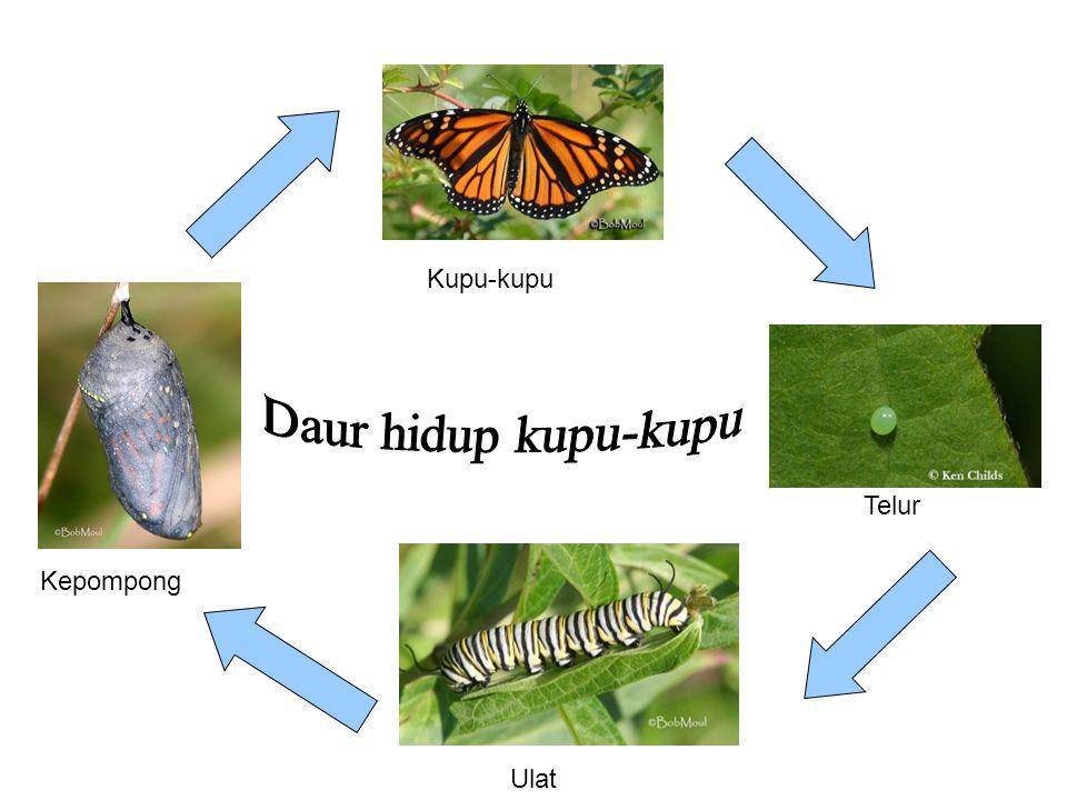 Kupu-kupu Telur Ulat Kepompong
