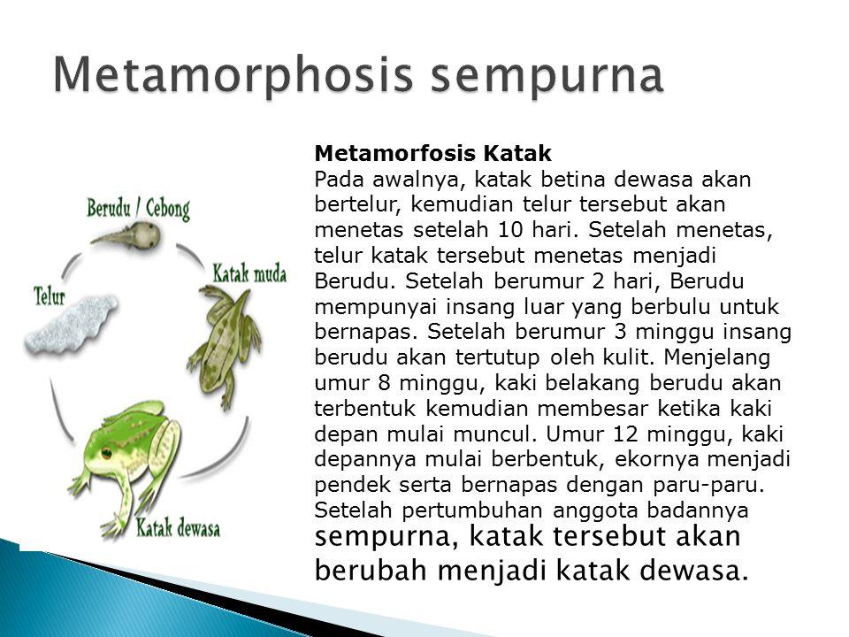 Metamorfosis Katak Pada awalnya, katak betina dewasa akan bertelur, kemudian telur tersebut akan menetas setelah 10 hari. Setelah menetas, telur katak