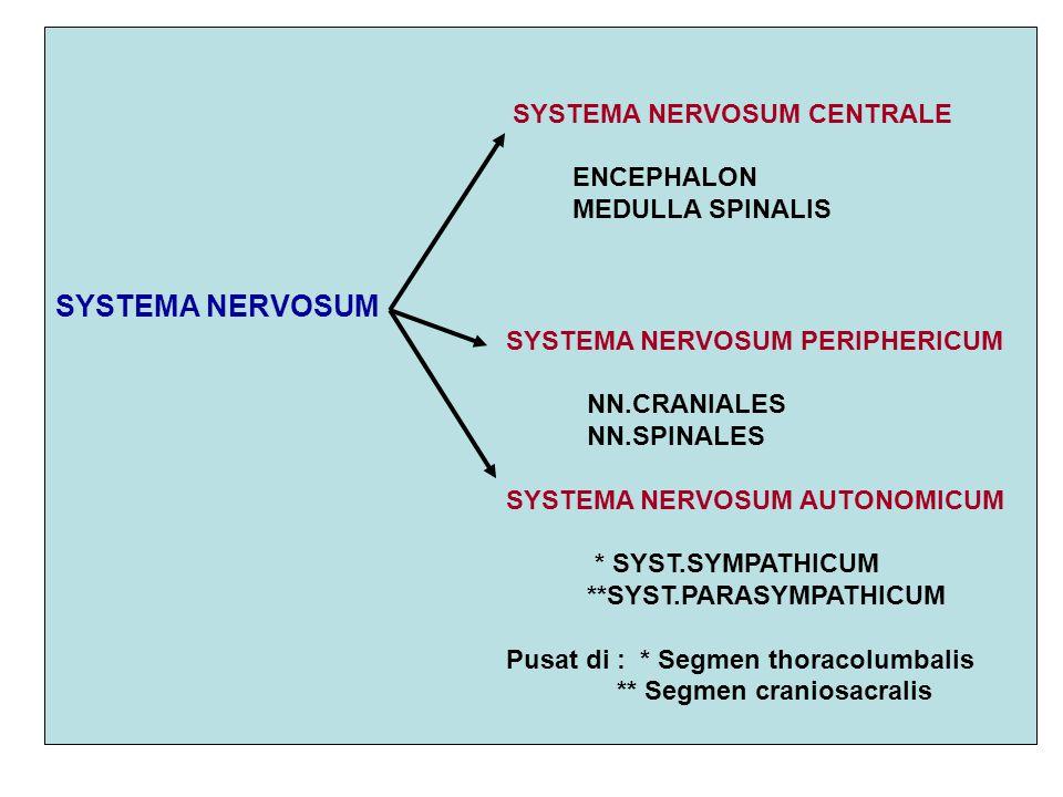SYSTEMA NERVOSUM CENTRALE ENCEPHALON MEDULLA SPINALIS SYSTEMA NERVOSUM SYSTEMA NERVOSUM PERIPHERICUM NN.CRANIALES NN.SPINALES SYSTEMA NERVOSUM AUTONOM