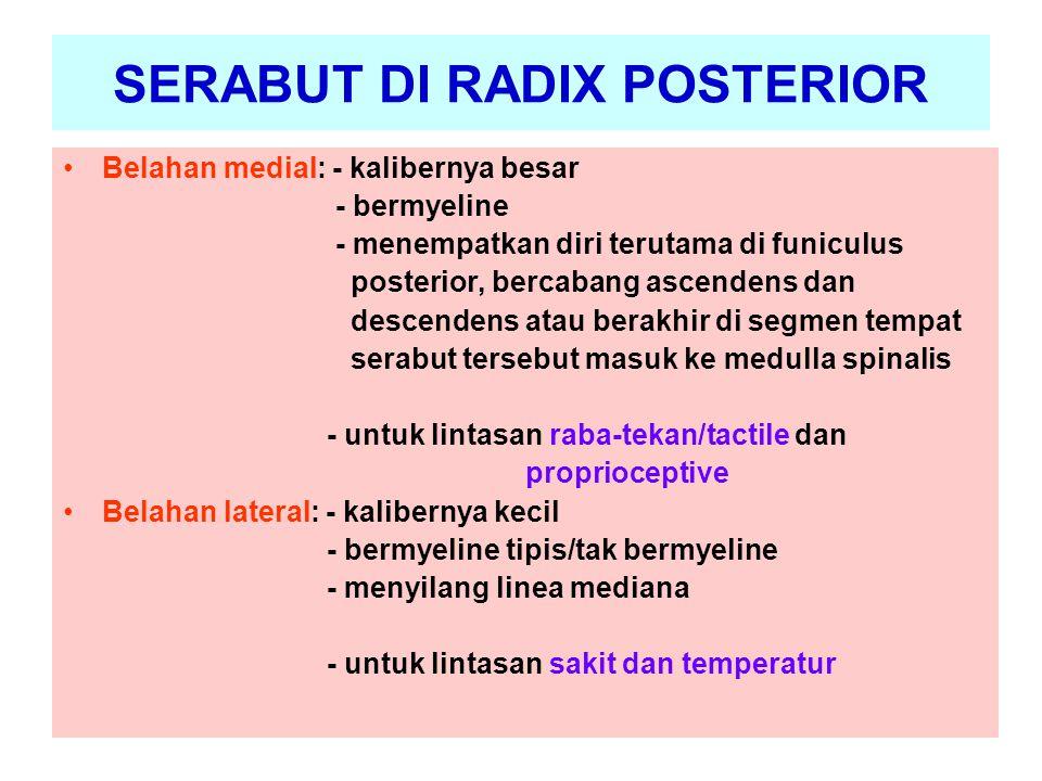 SERABUT DI RADIX POSTERIOR Belahan medial: - kalibernya besar - bermyeline - menempatkan diri terutama di funiculus posterior, bercabang ascendens dan