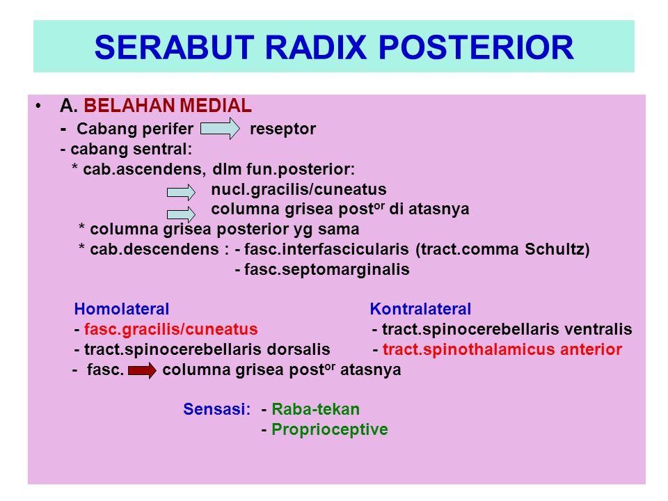 SERABUT RADIX POSTERIOR A. BELAHAN MEDIAL - Cabang perifer reseptor - cabang sentral: * cab.ascendens, dlm fun.posterior: nucl.gracilis/cuneatus colum