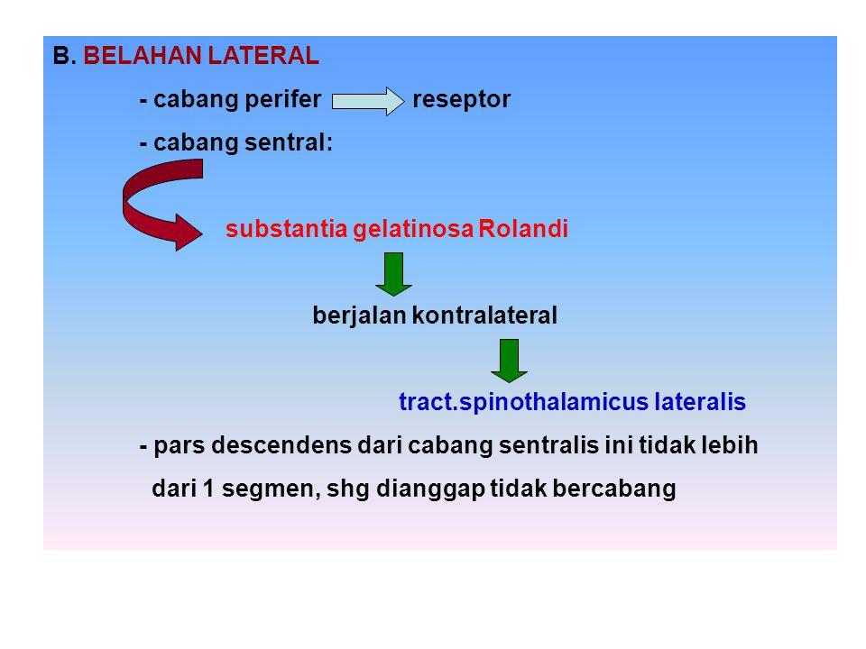 B. BELAHAN LATERAL - cabang perifer reseptor - cabang sentral: substantia gelatinosa Rolandi berjalan kontralateral tract.spinothalamicus lateralis -