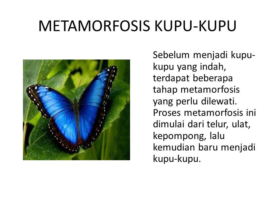 METAMORFOSIS KUPU-KUPU Sebelum menjadi kupu- kupu yang indah, terdapat beberapa tahap metamorfosis yang perlu dilewati. Proses metamorfosis ini dimula