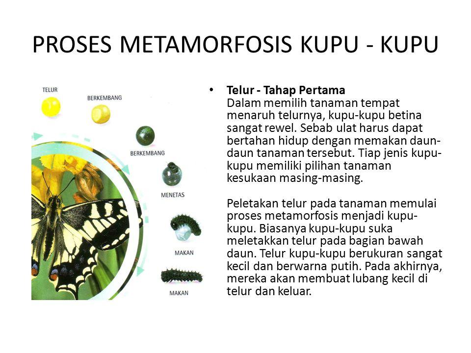 PROSES METAMORFOSIS KUPU - KUPU Telur - Tahap Pertama Dalam memilih tanaman tempat menaruh telurnya, kupu-kupu betina sangat rewel. Sebab ulat harus d