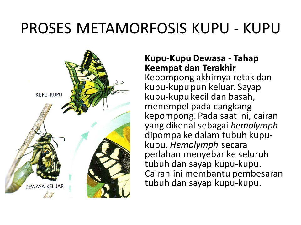 PROSES METAMORFOSIS KUPU - KUPU Kupu-Kupu Dewasa - Tahap Keempat dan Terakhir Kepompong akhirnya retak dan kupu-kupu pun keluar. Sayap kupu-kupu kecil