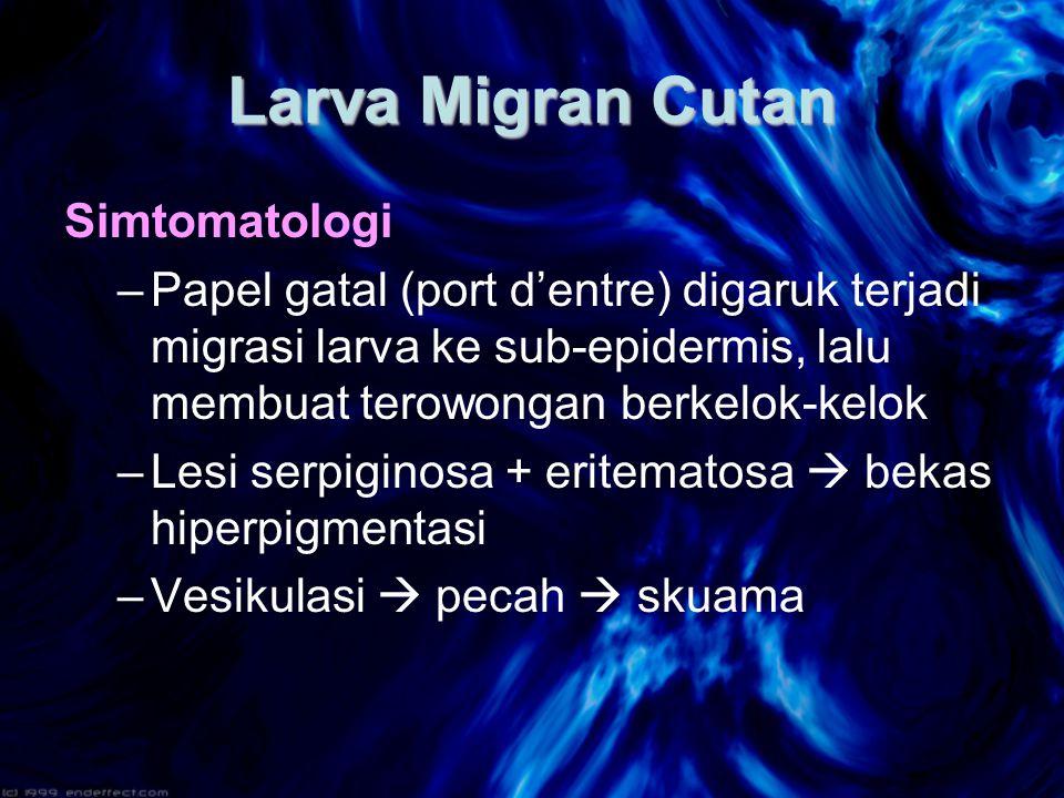 Larva Migran Cutan Simtomatologi –Papel gatal (port d'entre) digaruk terjadi migrasi larva ke sub-epidermis, lalu membuat terowongan berkelok-kelok –Lesi serpiginosa + eritematosa  bekas hiperpigmentasi –Vesikulasi  pecah  skuama