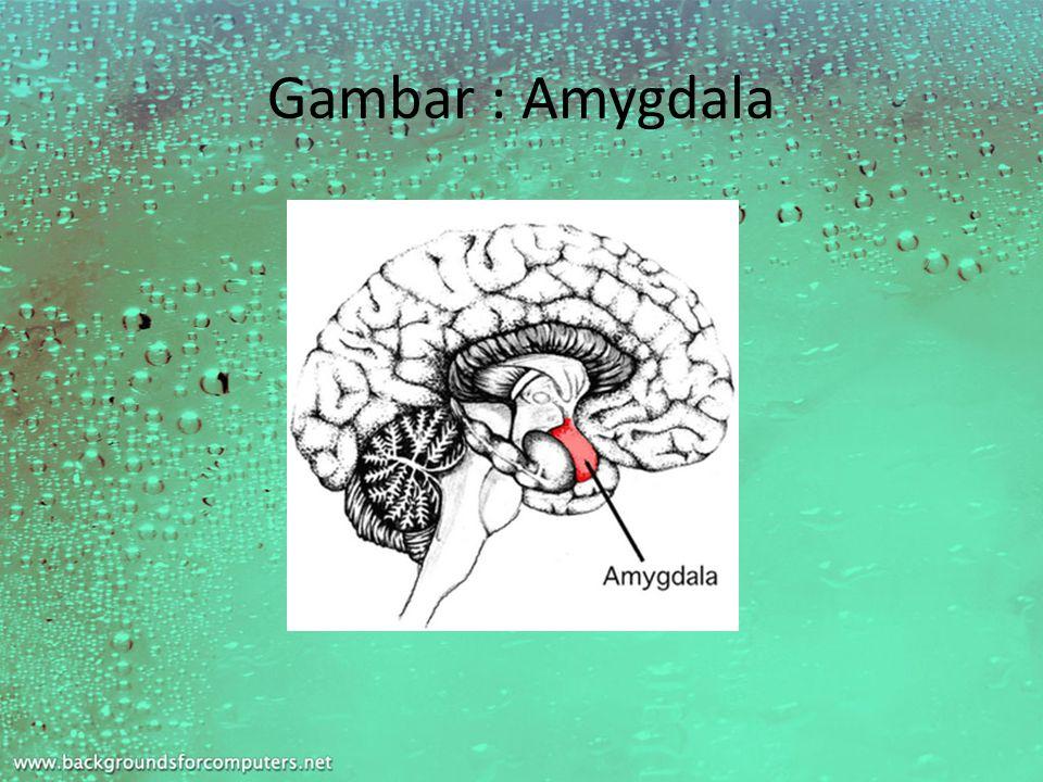 Gambar : Amygdala