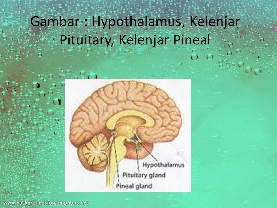 Gambar : Hypothalamus, Kelenjar Pituitary, Kelenjar Pineal