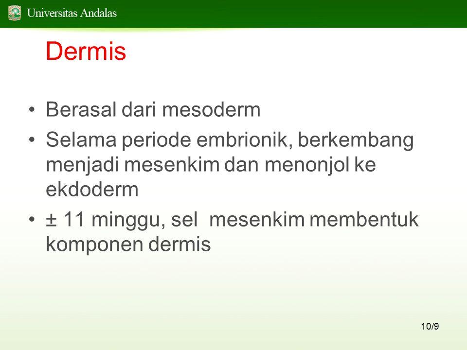 10/9 Dermis Berasal dari mesoderm Selama periode embrionik, berkembang menjadi mesenkim dan menonjol ke ekdoderm ± 11 minggu, sel mesenkim membentuk k