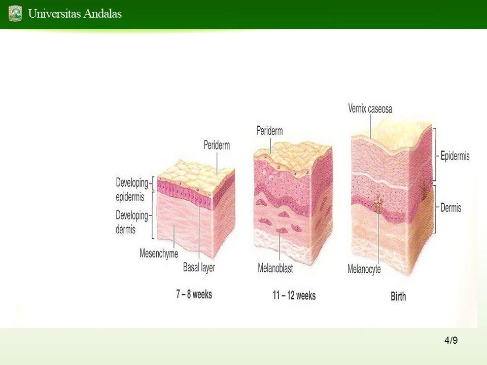 5/9 Sebelum minggu 11, sel lapisan basalis membentuk lapisan intermediet yang berkembang menjadi : - Stratum germinativum / stratum basale akan menghasilkan sel baru.