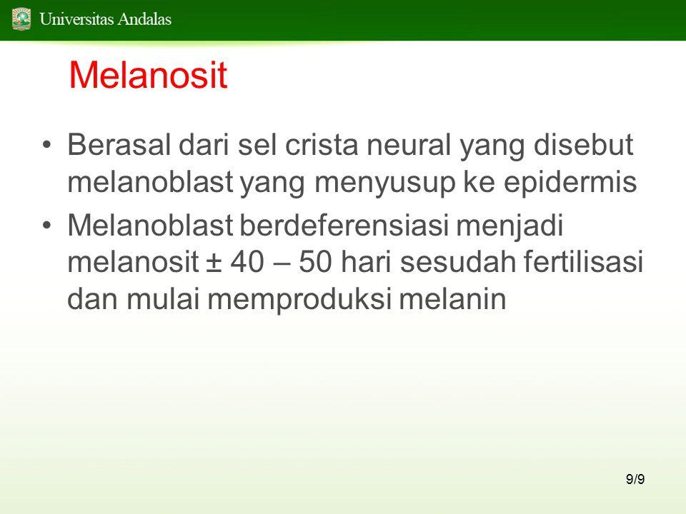 9/9 Melanosit Berasal dari sel crista neural yang disebut melanoblast yang menyusup ke epidermis Melanoblast berdeferensiasi menjadi melanosit ± 40 –