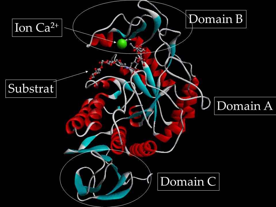 Domain A Domain C Domain B Substrat Ion Ca 2+