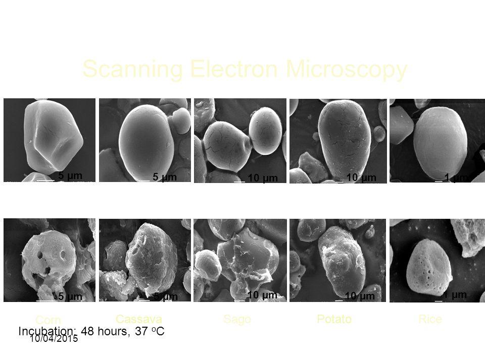 Scanning Electron Microscopy Incubation: 48 hours, 37 o C 5 µm 10 µm 1 µm Corn CassavaSagoPotatoRice 10/04/2015