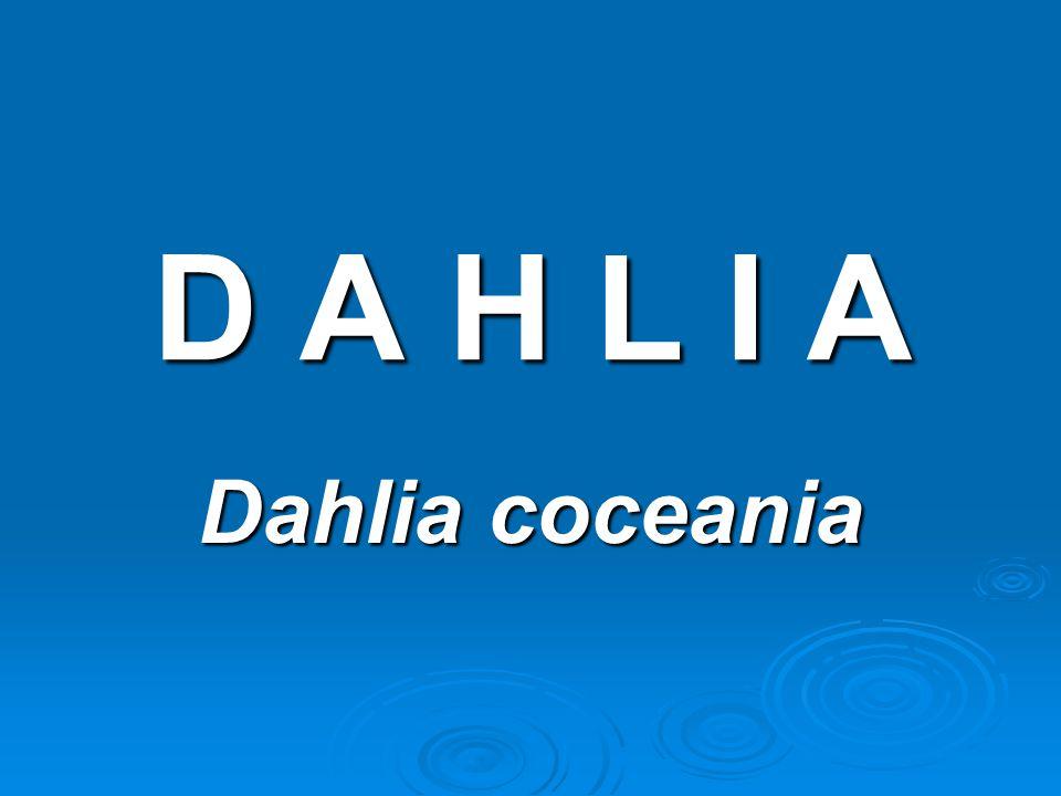 D A H L I AD A H L I AD A H L I AD A H L I A Dahlia coceania