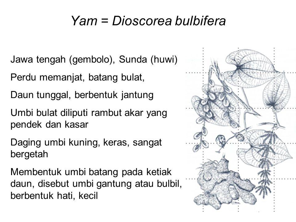 Yam = Dioscorea bulbifera Jawa tengah (gembolo), Sunda (huwi) Perdu memanjat, batang bulat, Daun tunggal, berbentuk jantung Umbi bulat diliputi rambut