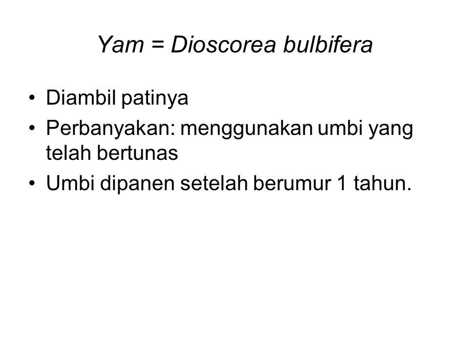 Yam = Dioscorea bulbifera Diambil patinya Perbanyakan: menggunakan umbi yang telah bertunas Umbi dipanen setelah berumur 1 tahun.