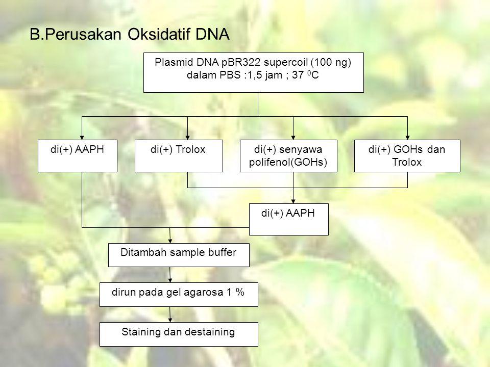 B.Perusakan Oksidatif DNA Plasmid DNA pBR322 supercoil (100 ng) dalam PBS :1,5 jam ; 37 0 C di(+) AAPHdi(+) Troloxdi(+) senyawa polifenol(GOHs) di(+) GOHs dan Trolox di(+) AAPH Ditambah sample buffer dirun pada gel agarosa 1 % Staining dan destaining