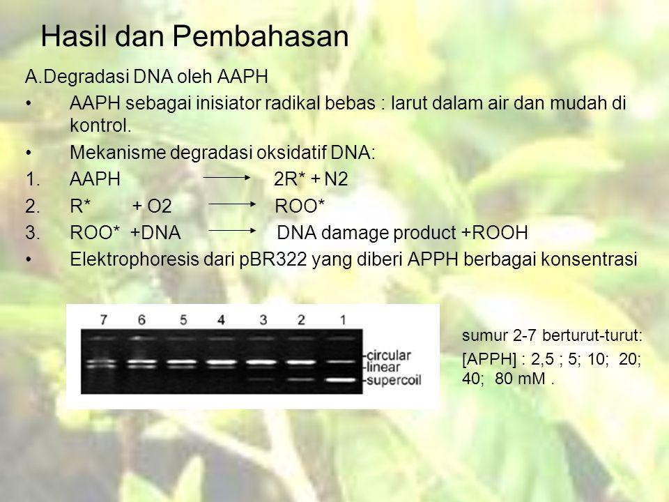 Hasil dan Pembahasan A.Degradasi DNA oleh AAPH AAPH sebagai inisiator radikal bebas : larut dalam air dan mudah di kontrol.
