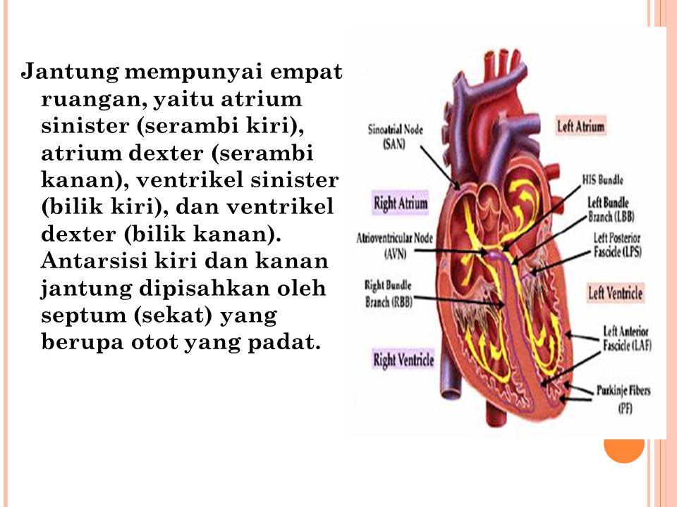 Jantung mempunyai empat ruangan, yaitu atrium sinister (serambi kiri), atrium dexter (serambi kanan), ventrikel sinister (bilik kiri), dan ventrikel d