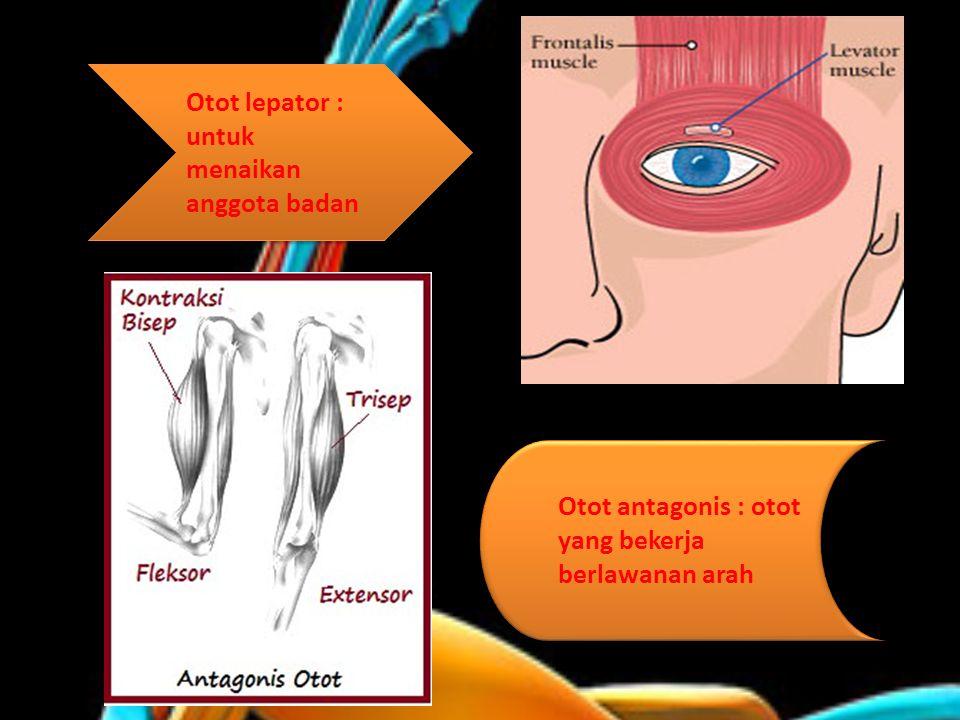 Otot lepator : untuk menaikan anggota badan Otot antagonis : otot yang bekerja berlawanan arah