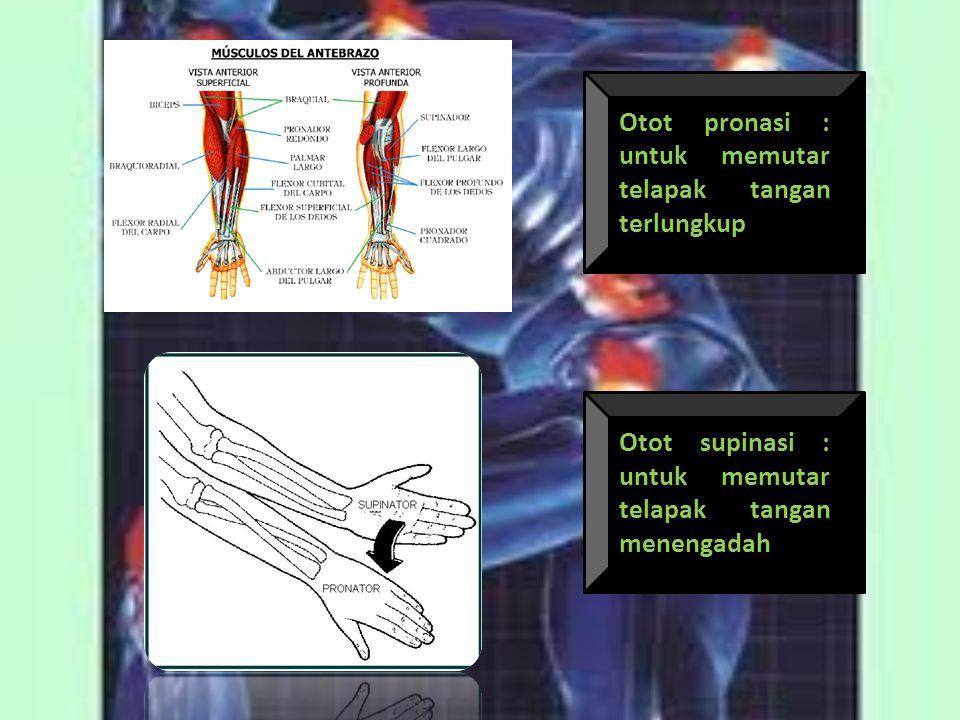 Otot pronasi : untuk memutar telapak tangan terlungkup Otot supinasi : untuk memutar telapak tangan menengadah