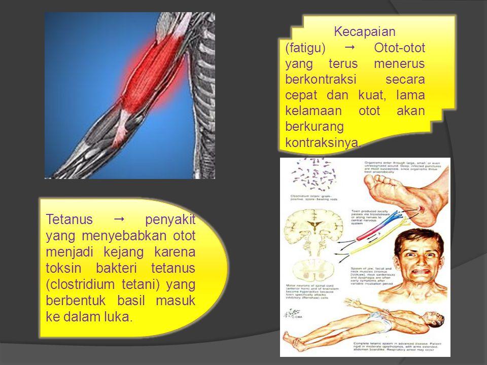 Kecapaian (fatigu)  Otot-otot yang terus menerus berkontraksi secara cepat dan kuat, lama kelamaan otot akan berkurang kontraksinya. Tetanus  penyak
