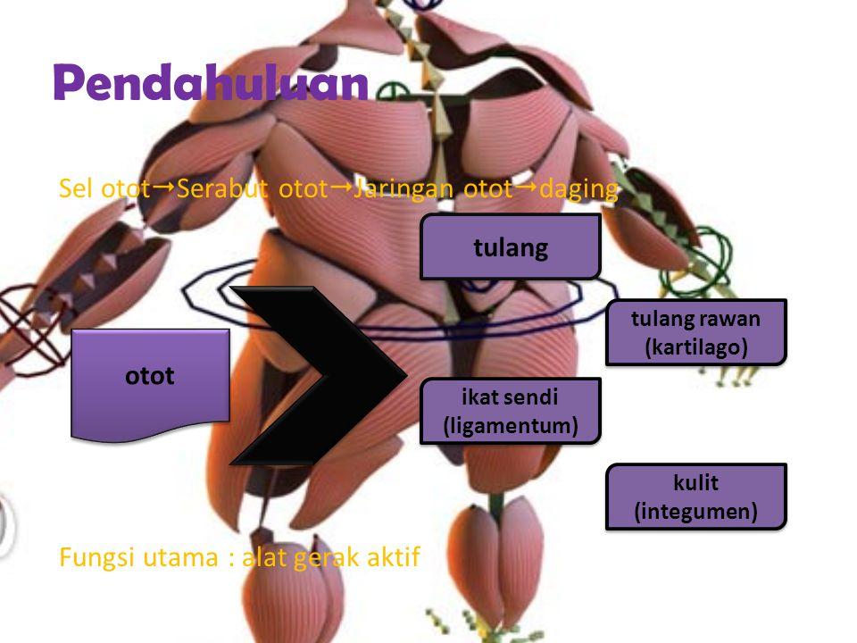 Pendahuluan Sel otot  Serabut otot  Jaringan otot  daging Fungsi utama : alat gerak aktif otot tulang tulang rawan (kartilago) ikat sendi (ligamentum) kulit (integumen)