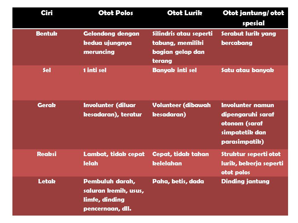 CiriOtot PolosOtot Lurik Otot jantung/ otot spesial Bentuk Gelondong dengan kedua ujungnya meruncing Silindris atau seperti tabung, memiliki bagian gelap dan terang Serabut lurik yang bercabang Sel1 inti selBanyak inti selSatu atau banyak Gerak Involunter (diluar kesadaran), teratur Volunteer (dibawah kesadaran) Involunter namun dipengaruhi saraf otonom (saraf simpatetik dan parasimpatik) Reaksi Lambat, tidak cepat lelah Cepat, tidak tahan kelelahan Struktur seperti otot lurik, bekerja seperti otot polos LetakPembuluh darah, saluran kemih, usus, limfe, dinding pencernaan, dll.