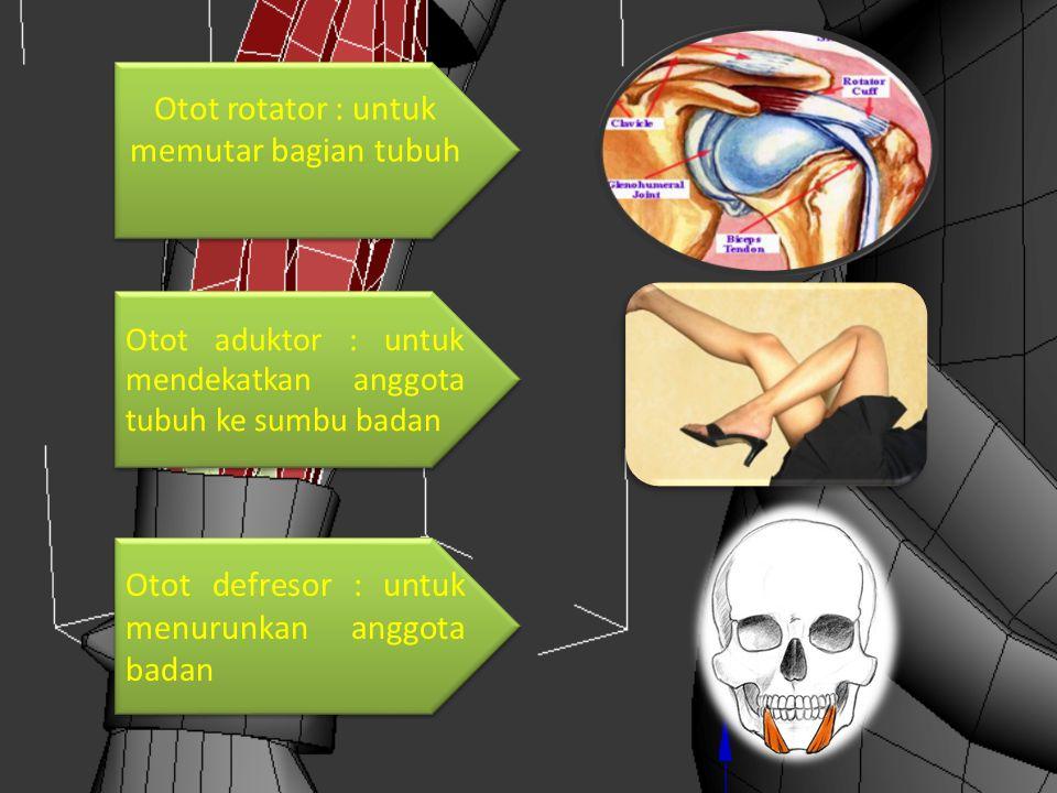 Otot rotator : untuk memutar bagian tubuh Otot aduktor : untuk mendekatkan anggota tubuh ke sumbu badan Otot defresor : untuk menurunkan anggota badan