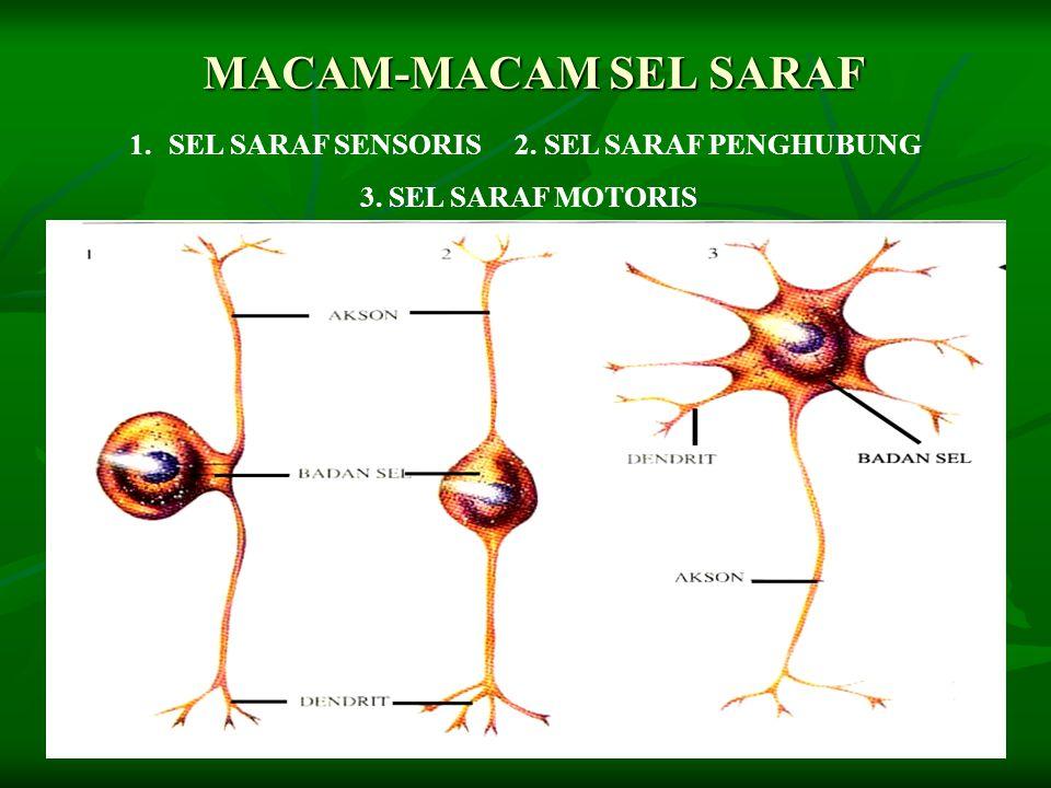 MACAM-MACAM SEL SARAF 1.SEL SARAF SENSORIS 2. SEL SARAF PENGHUBUNG 3. SEL SARAF MOTORIS