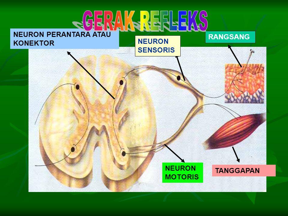 NEURON SENSORIS RANGSANG NEURON PERANTARA ATAU KONEKTOR NEURON MOTORIS TANGGAPAN