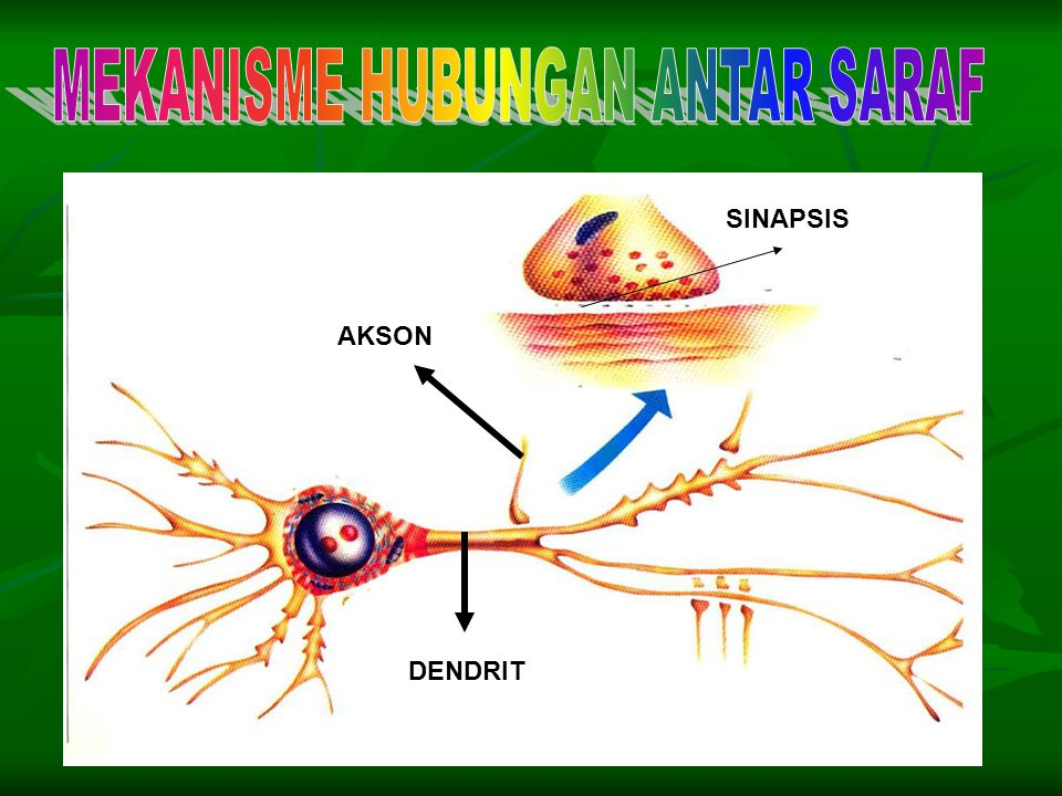"Ketika impuls mencapai ujung akson, ia ""meloncat"" ke saraf berikutnya. Perpindahan ini dilakukan oleh neurontranmiter yaitu bahan yang disintesis oleh"