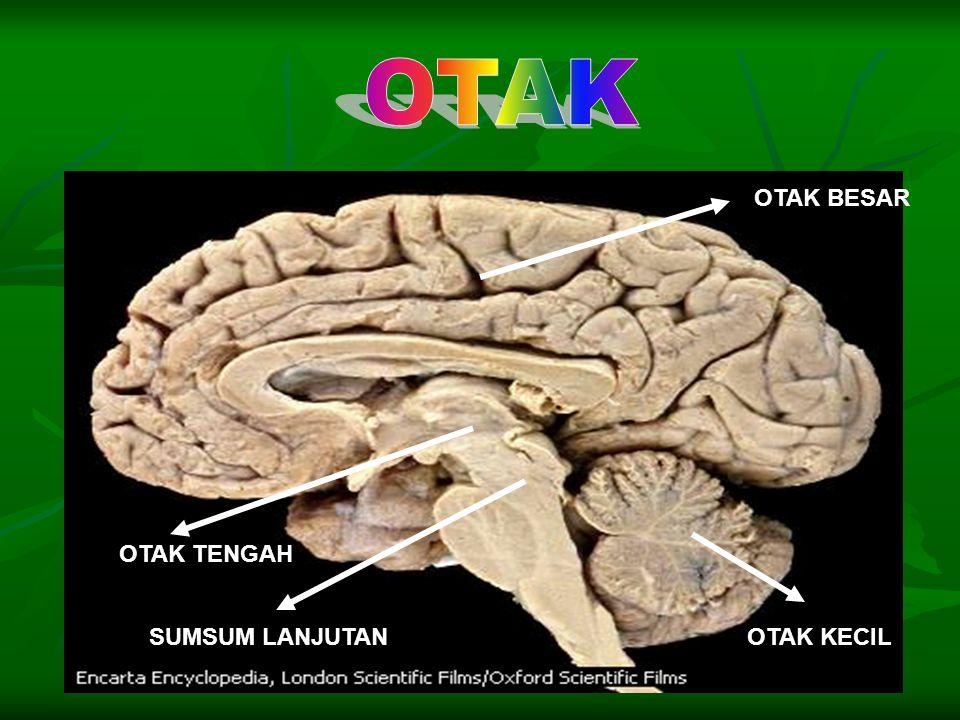 Otak adalah pusat koordinasi utama. Di dalam otak, semua kegiatan tubuh dikontrol dan dikendalikan dengan baik. Otak adalah pusat koordinasi utama. Di