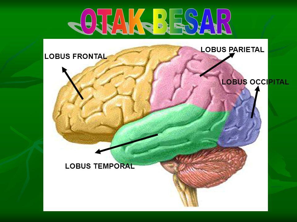 Terbagi menjadi empat bagian : Terbagi menjadi empat bagian : 1. Dahi (lobus frontalis), berfungsi untuk mengatur gerakan- gerakan tubuh yang disadari