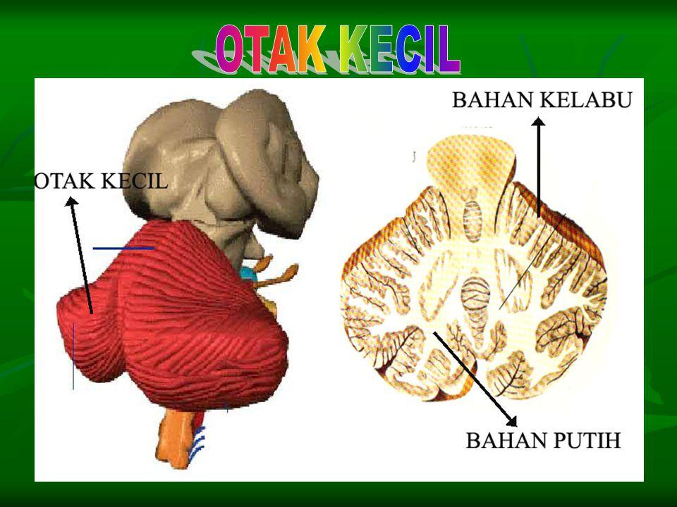 Otak kecil mempunyai dua belahan, yaitu belahan otak kanan dan belahan otak kiri. Antara kedua belahan dihubungkan oleh jembatan varol. Otak kecil mem