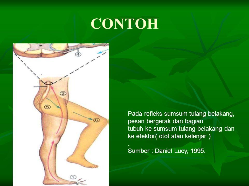 Gerak refleks adalah gerak yang terjadi secara spontan, tanpa melalui pusat gerak di otak, tetapi melalui neuron perantara. RANGSANG NEURON SENSORIS N