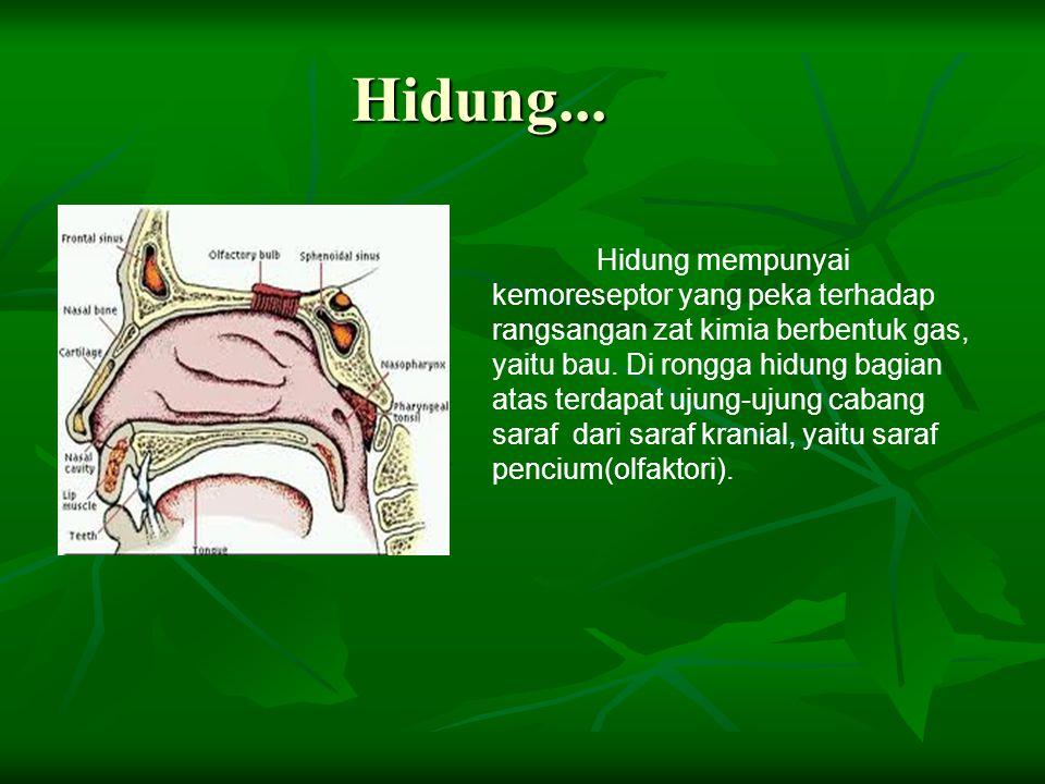 3. Kulit... Di kulit ada lima macam reseptor disebut tango Yang merupakan ujung saraf indra peraba. Kelima reseptor khusus merespon rangsangan berupa