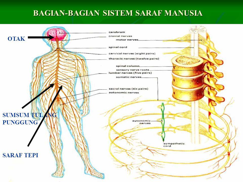 Sistem saraf pusat merupakan bagian dari sistem saraf yang mengatur fungsi organ dan anggota tubuh.