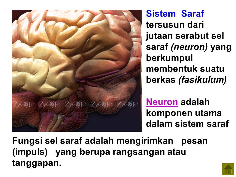 Fungsi sel saraf adalah mengirimkan pesan (impuls) yang berupa rangsangan atau tanggapan. Sistem Saraf tersusun dari jutaan serabut sel saraf (neuron)