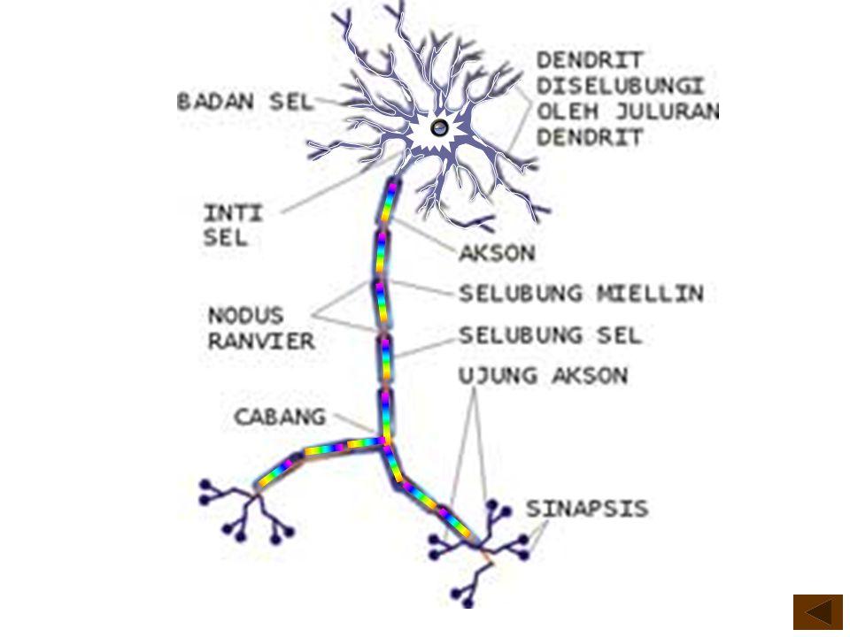 JENIS SEL SARAF Terdapat 5 (lima) jenis sel saraf berdasarkan bentuk, yaitu: bentuk A.Unipolar neuron B.Bipolar neuron C.Interneuron D.Pyramidal cell E.Motor neuron