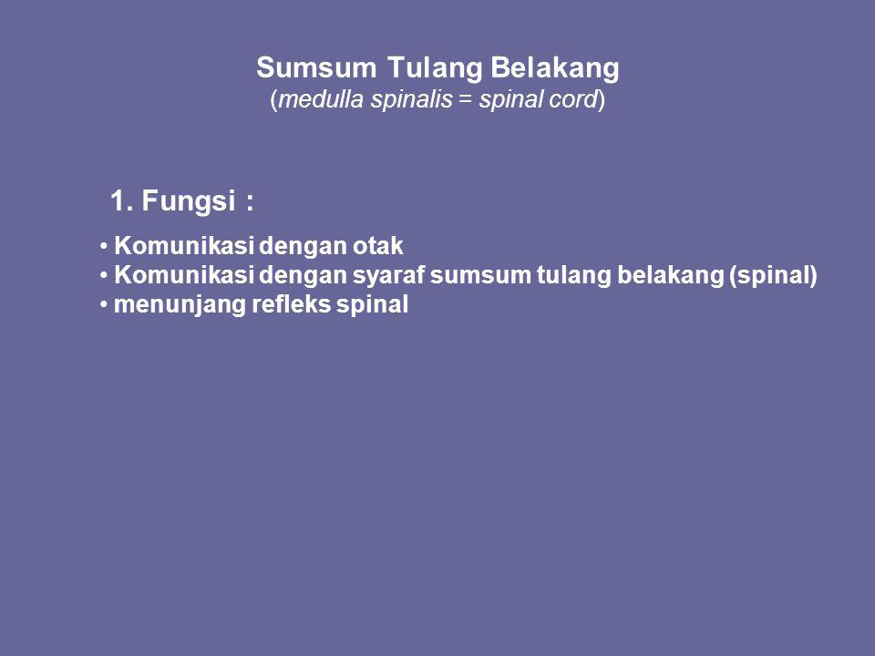 Sumsum Tulang Belakang (medulla spinalis = spinal cord) 1. Fungsi : Komunikasi dengan otak Komunikasi dengan syaraf sumsum tulang belakang (spinal) me