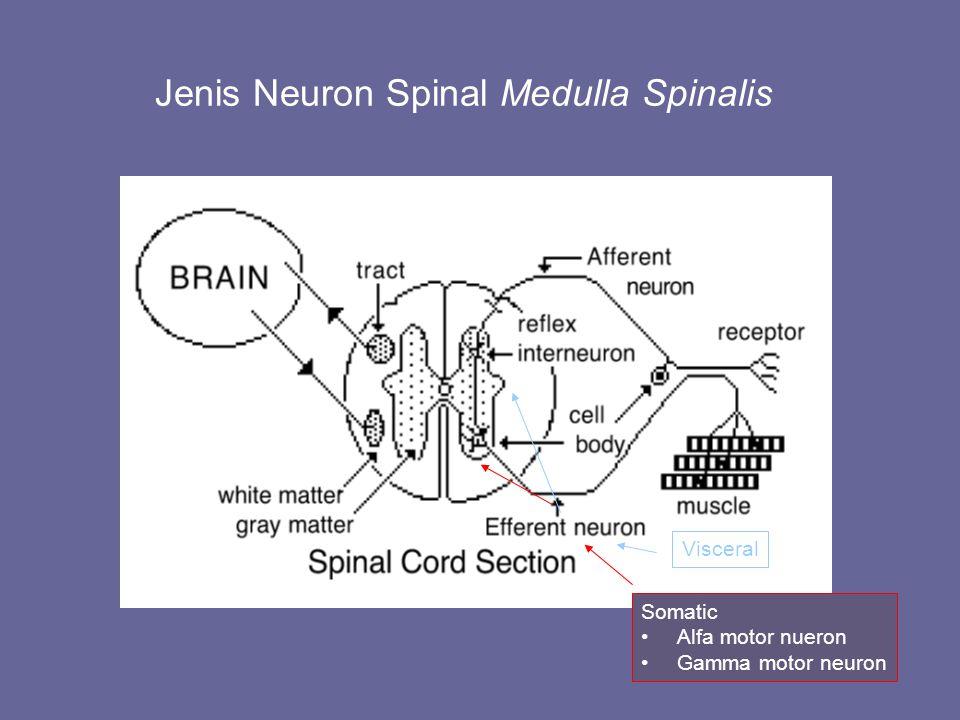 Jenis Neuron Spinal Medulla Spinalis Somatic Alfa motor nueron Gamma motor neuron Visceral