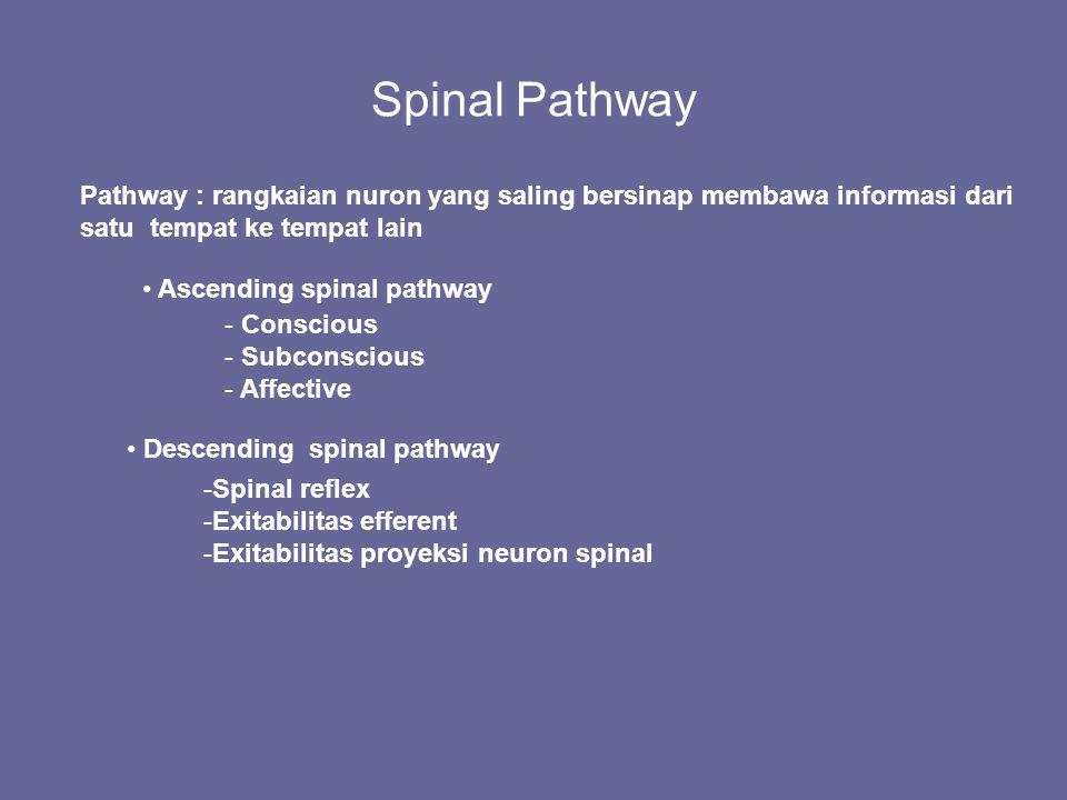 Spinal Pathway Pathway : rangkaian nuron yang saling bersinap membawa informasi dari satu tempat ke tempat lain Ascending spinal pathway Descending sp